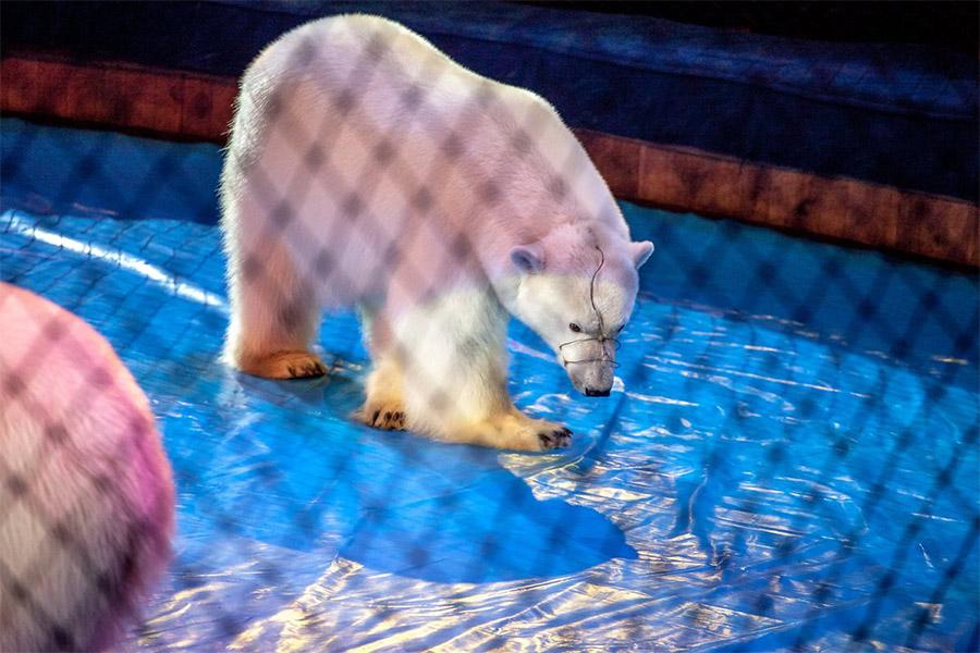 Белый медведь в цирке Автово